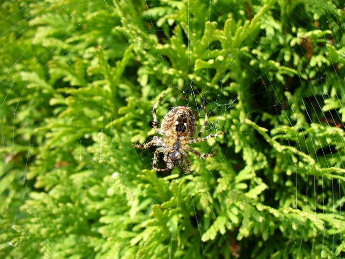 Рис. 1. Паук Araneus cavaticus на ловчей сети