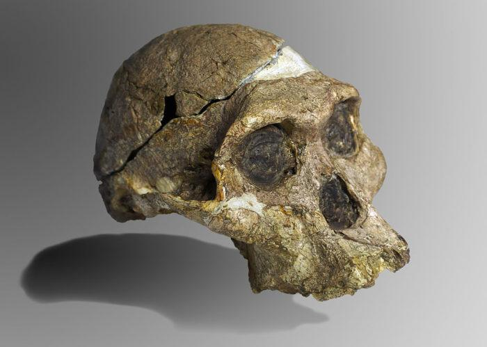 Рис. 2. «Миссис Плез» - череп самки африканского австралопитека