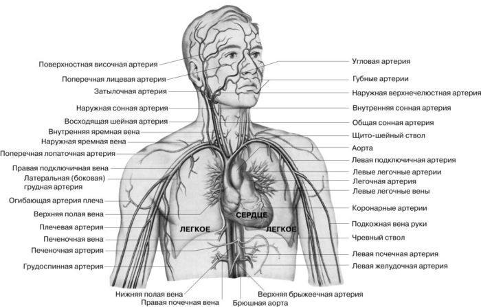 Рис. 2. Кровеносная система человека