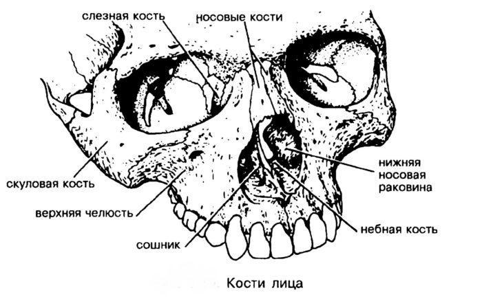 Рис. 2. Лицевые кости
