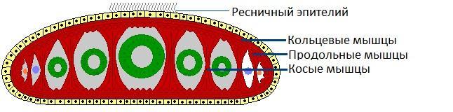 Рис. 2. Мышечные волокна планарии