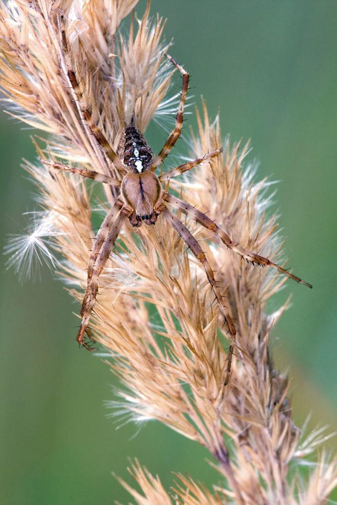 Рис. 2. Паук Araneus diadematus