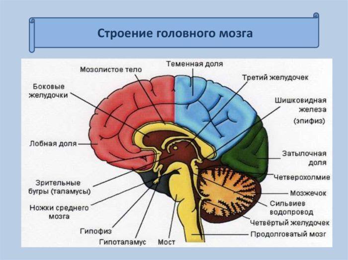 Рис. 2. Строение головного мозга