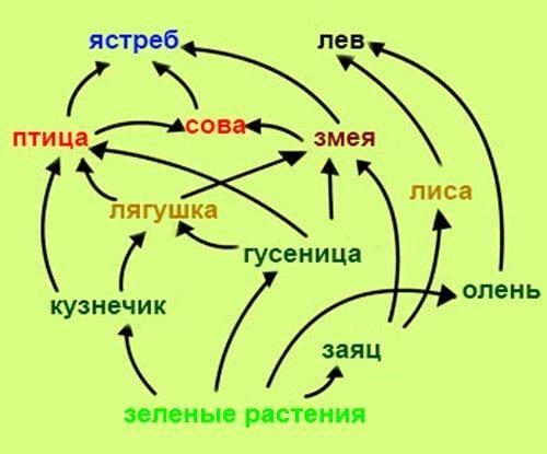 Рис. 3. Схема пастбищной пищевой цепи