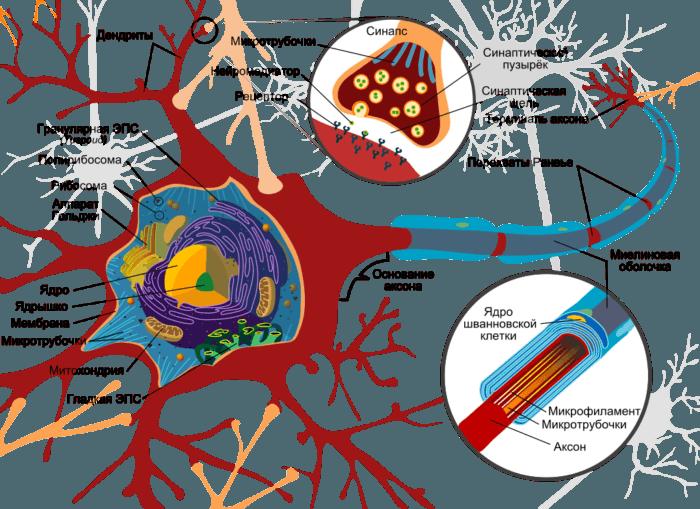 Рис. 2. Схема строения нейрона