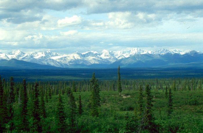Рис. 2. Темнохвойная тайга из сизой ели. Аляска