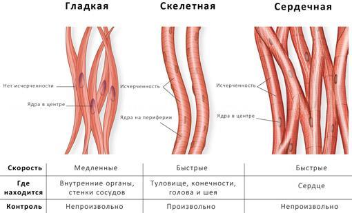 Рис. 2. Типы мышц по структуре