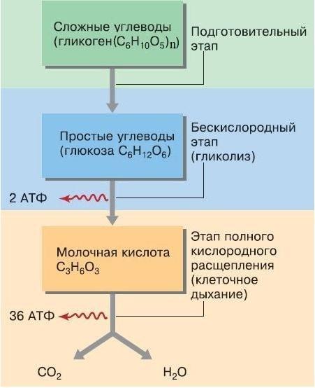 Рис. 2. Этапы энергетического обмена
