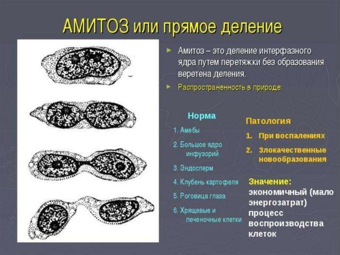 Рис. 3. Амитоз или прямое деление