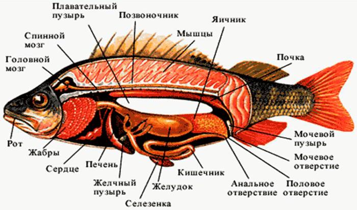 Рис. 4. Внутренние органы рыбы