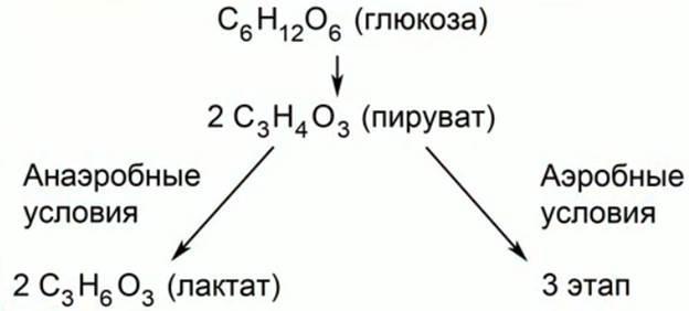 Рис. 3. Гликолиз глюкозы