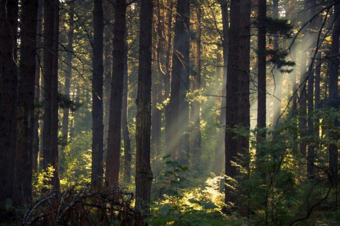 Рис. 4. Кедр – хлебное дерево Сибири
