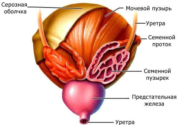 Рис. 3. Строение мочевого пузыря