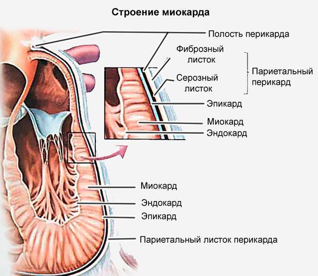 Рис. 4. Строение миокарда