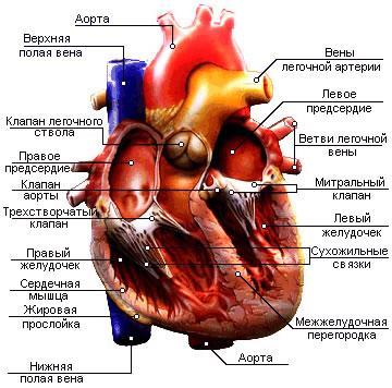 Рис. 3. Строение сердца
