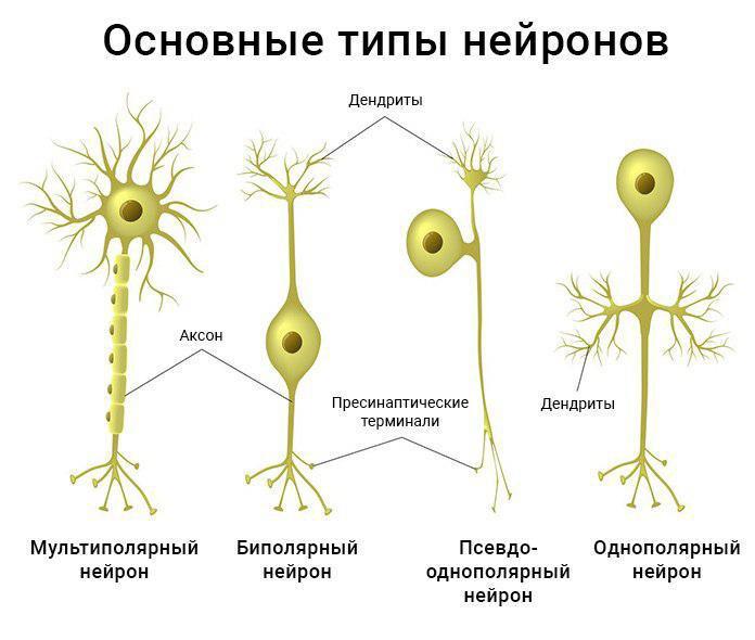 Рис. 3. Типы нейронов