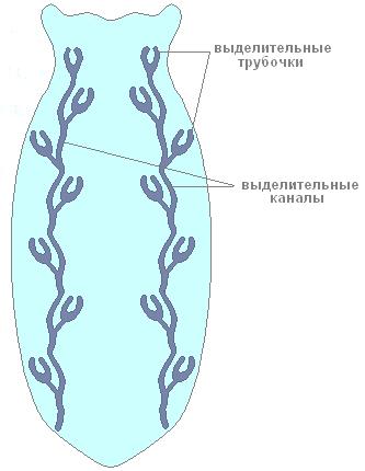 Рис. 4. Выделительная система