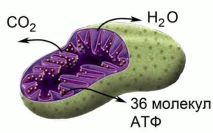 Рис. 4. Кислородный этап в живой материи