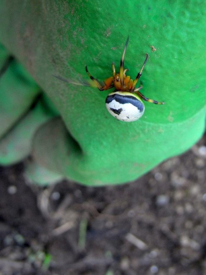 Рис. 4. Паук Araneus mitificus