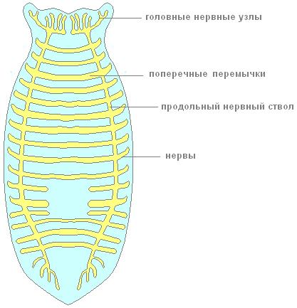 Рис. 5. Нервная система