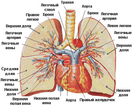 Рис. 5. Строение легких человека