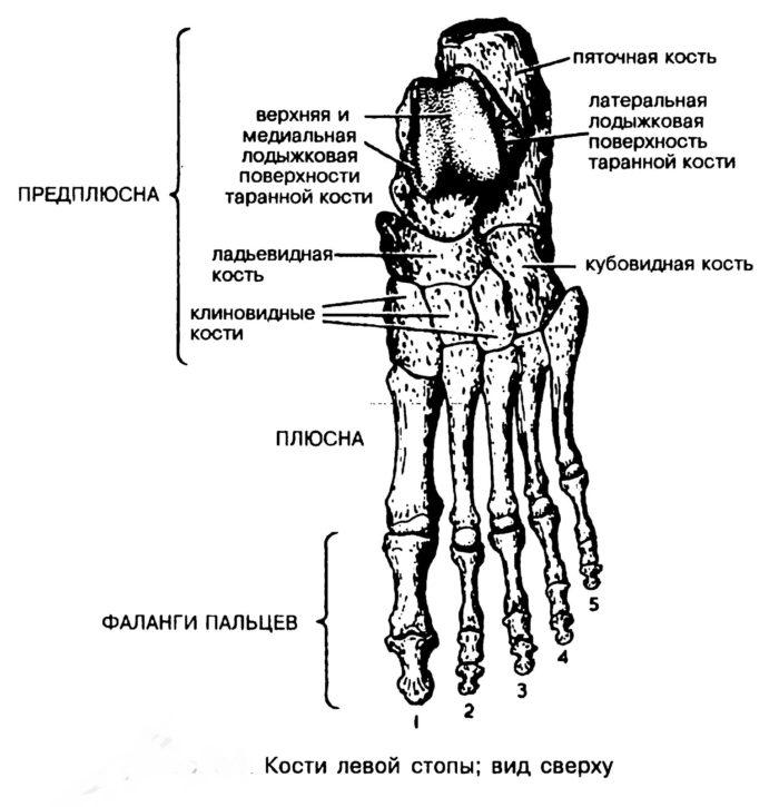Рис. 6. Левая стопа