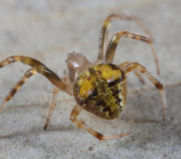 Рис. 6. Паук Araneus albotriangulus