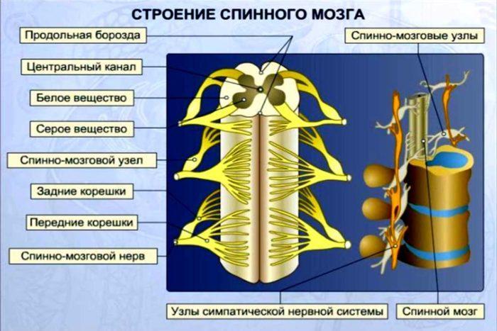 Рис. 8. Строение спинного мозга