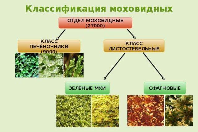 Рис. 1. Классификация моховидных