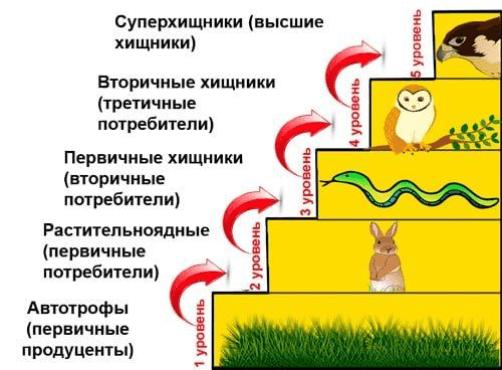 Рис. 2. Схема уровней пищевой (трофической) цепи